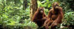 top-ten-most-threatened-forests-sundaland-orangutans_32119_big