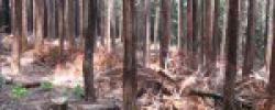 間伐後半年経過した人工林(桧)